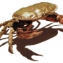 Crab (granchio), bronzo  l 25